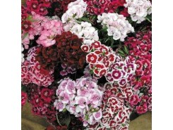 Dianthus barbatus 'Sweet William'