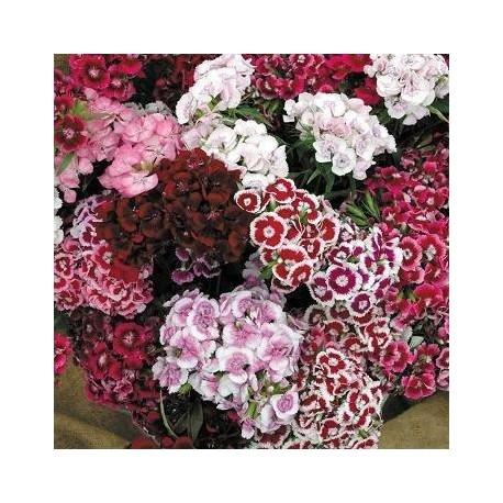 Dianthus barbatus 'Sweet William'