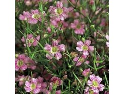 Gypsophila pacifica 'pink'