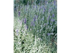Lavendula 'Munstead Strain' - 3 plants for $12.24