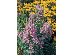 Physostegia virginiana 'Pink' - 3 plants for $9.72
