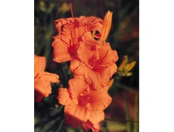 Hemerocallis 'Bertie Ferris' - 3 plants for $14.58