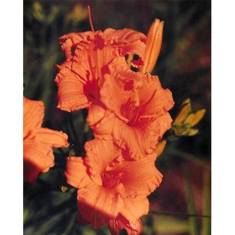 Hemerocallis 'Bertie Ferris' - 3 plants for $14.58