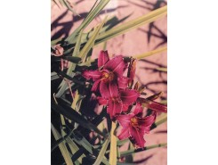 Hemerocallis 'Eenie FanFare' - 3 plants for $19.80