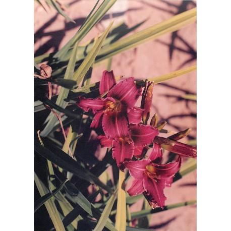 Hemerocallis 'Eenie FanFare' - 3 plants for $19.80