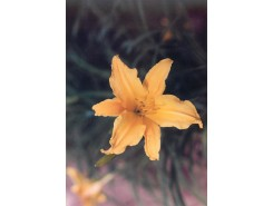 Hemerocallis 'Gold Glow' - 3 plants for $12.60