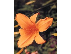 Hemerocallis 'Golden Gate' - 3 plants for $14.40
