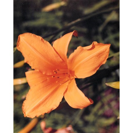 Hemerocallis 'Golden Gate' - 3 plants for $14.40