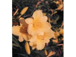 Hemerocallis 'Happy Returns' - 3 plants for $17.28