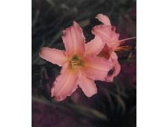 Hemerocallis 'Luxury Lace' - 3 plants for $13.32