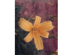Hemerocallis 'Skylark' - 3 plants for $11.52