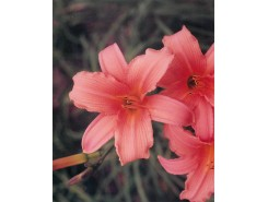 Hemerocallis 'Orange Surprise' - 3 plants for $10.98