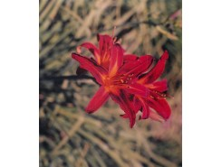 Hemerocallis 'Sammy Russell' - 3 plants for $11.52