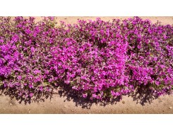 Phlox subulata 'Atropurpurea' - 3 plants for $14.58