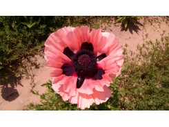 Papaver 'Queen Alexandra'