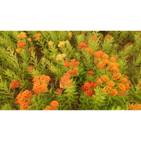 Asclepias 'Gay Butterfly'  - 3 plants for $24.30