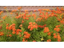 Asclepias 'Tuberosa' (Butterfly Weed)