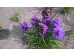 Liatris spicata 'Kobold' (goblin) - 3 plants for $16.92