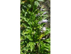 Hosta 'Erromena' - 3 plants for $13.14