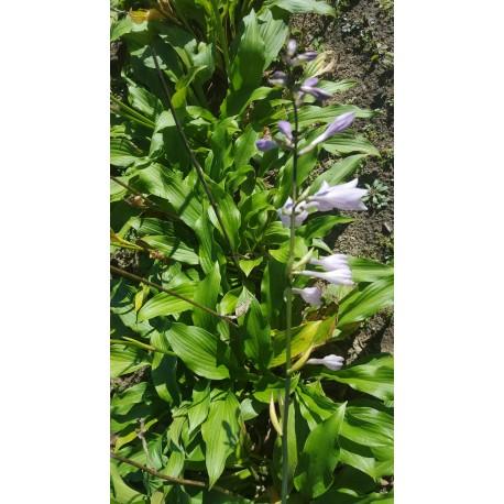Hosta 'Erromena' - 3 plants for $13.14