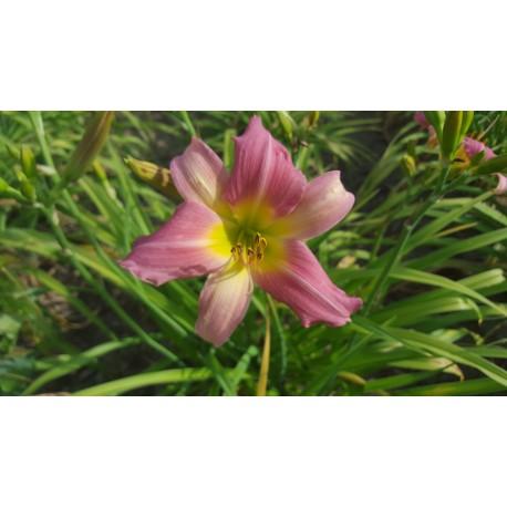 Hemerocallis 'Bama Music' - 3 plants for $16.02