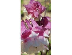 Aquilegia 'Granny's Rose Bonnet' - 3 plants for $10.44