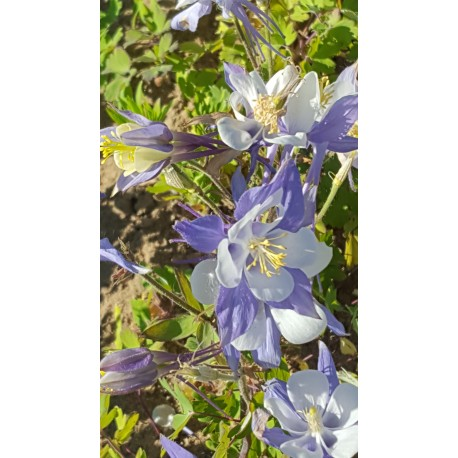 Aquilegia 'Blue Shades' - 3 plants for $10.08