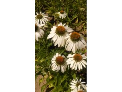 Echinacea 'White Swan' (Coneflower) - 3 plants for $11.88