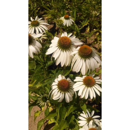 Echinacea white swan coneflower 3 plants for 1188 walters echinacea white swan coneflower mightylinksfo