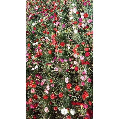 Carnation 'Grenadin'