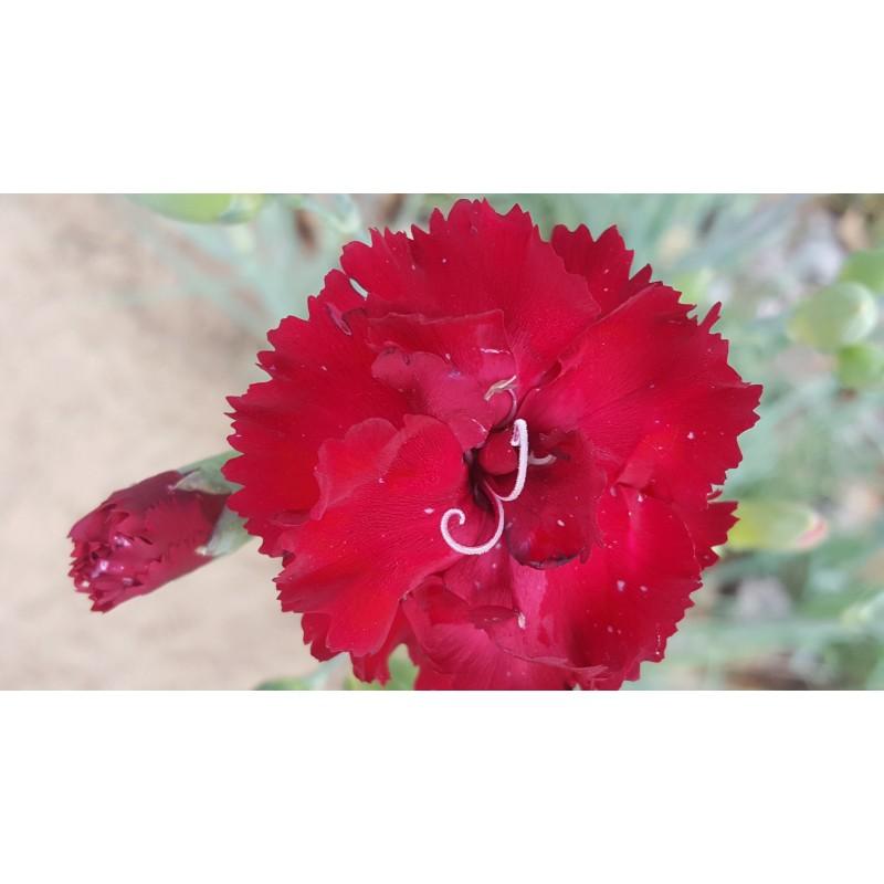 Carnation Grenadin