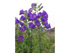 Campanula 'Canterbury Bells' - 3 plants for $9.54