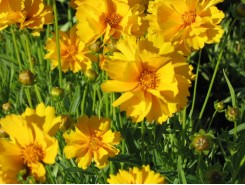 Coreopsis grandiflora 'Early Sunrise'  - 3 plants for $13.32