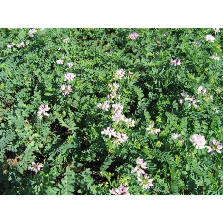 Coronilla varia (Crownvetch)