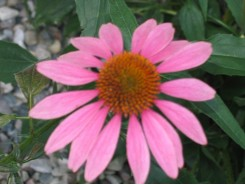 Echinacea 'Purpurea' (Coneflower) - 3 plants for $10.80