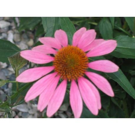 Echinacea 'Purpurea' (Coneflower)