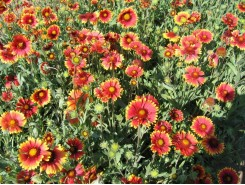 Gaillardia aristata 'Goblin' - 3 plants for $8.28