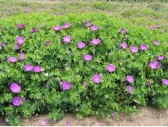 Geranium 'sanguineum' - 3 plants for $10.80