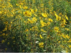 Helianthus 'maximiliani' - 3 plants for $9.90