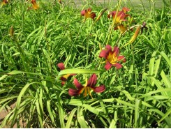 Hemerocallis 'Red Magic' - 3 plants for $11.52