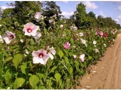 Hibiscus 'moscheutos'