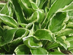 Hosta 'Undulata Albomarginata' - 3 plants for $13.14