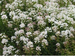 Iberis sempervirens 'Snowflake' (Candytuft) - 3 plants for $12.24