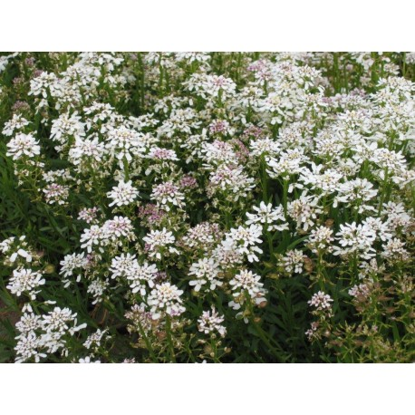 Iberis sempervirens 'Snowflake' (Candytuft)