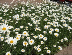 Leucanthemum superbum 'Alaska' - 3 plants for $9.54