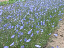 Linum perenne 'Perennial Flax' - 3 plants for $9.18