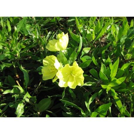 Oenothera 'macrocarpa'