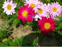 Painted Daisy (Tanacetum) 'Robinson's hybrid mixed'