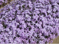 Phlox subulata 'Emerald Blue' - 3 plants for $14.58