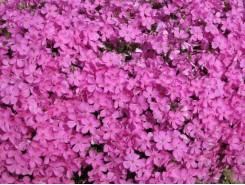 Phlox subulata 'Emerald Pink' - 3 plants for $14.58